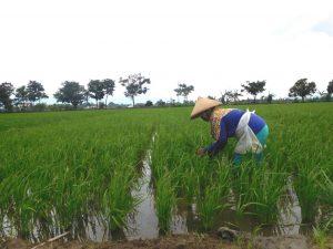 Ribet, Petani di Kudus Enggan Memakai Kartu Tani