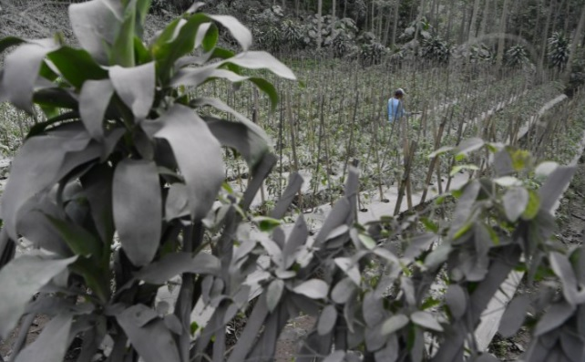 Petani membersihkan debu vulkanik letusan Gunung Semeru, yang menempel pada tanaman di kebun miliknya di Desa Wonoagung, Lumajang, Jawa Timur, Minggu (17/1/2021). (ANTARA/LINGKAR.CO)