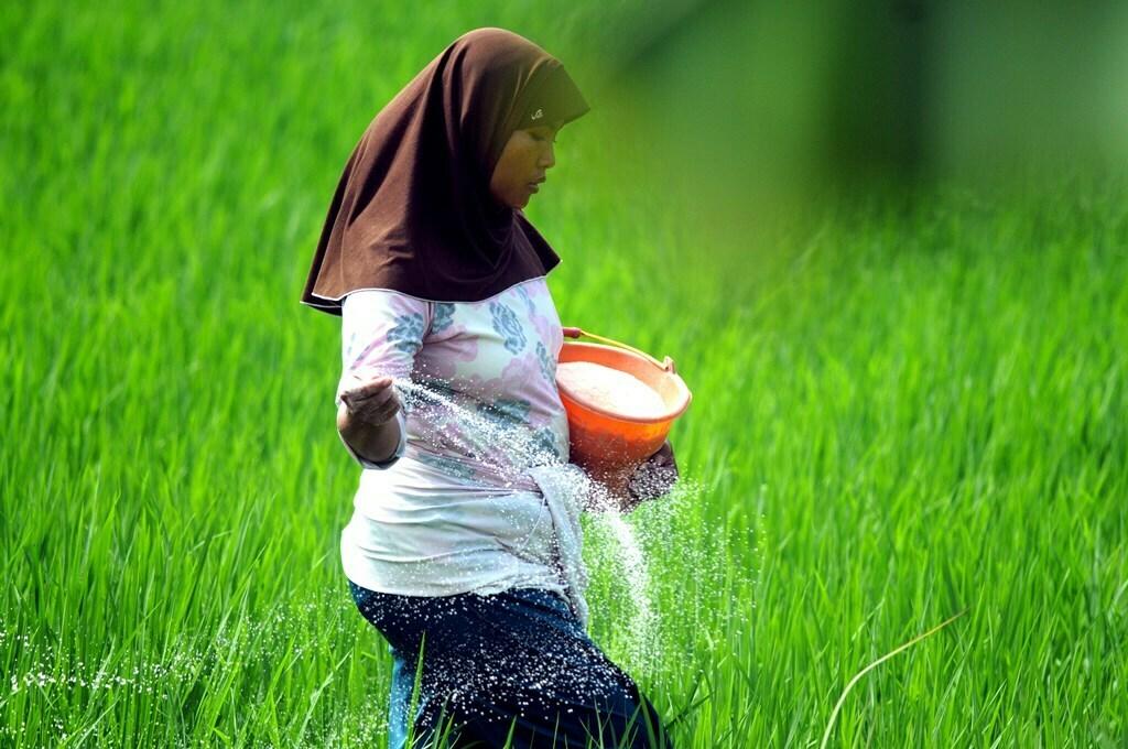 Petani memberikan pupuk tanaman padi, di Desa Dasok, Pamekasan, Jawa Timur, Sabtu (9/1). (ANTARA/LINGKAR.CO)