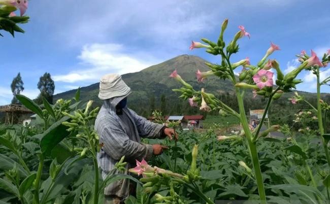 Petani merawat tanaman tembakau jenis Mantili di lereng gunung Sindoro Desa Canggal, Candiroto, Temanggung, Jawa Tengah. (ANTARA FOTO/LINGKAR.CO)
