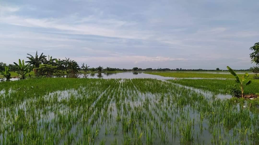 TERENDAM:Kondisi lahan tanaman padi di Kabupaten Kudus tergenang air akibat banjir sejak Sabtu-Minggu (2-3/1/2021). (DOK ISTIMEWA)