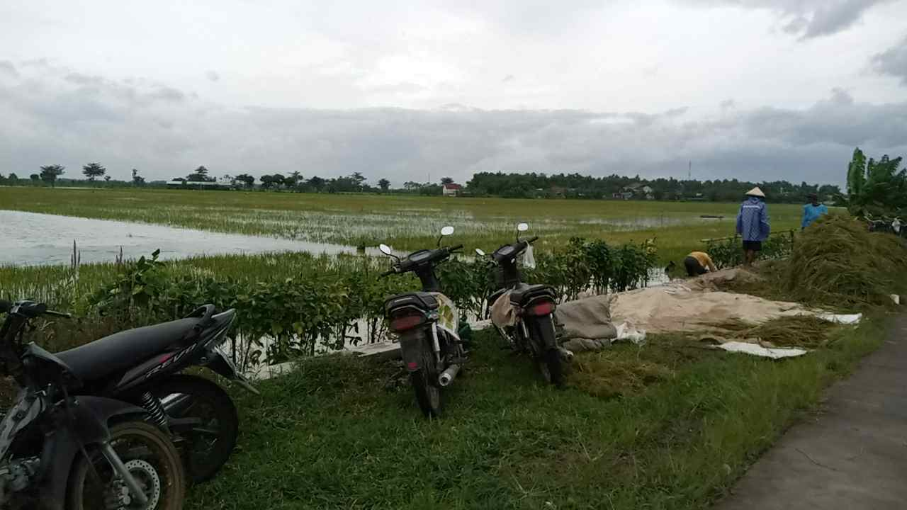 RUGI: Terlihat sejumlah petani gotong royong melakukan panen dini di Desa Karangrowo, Kecamatan Jakenan, Pati Sabtu (6/2/2021).