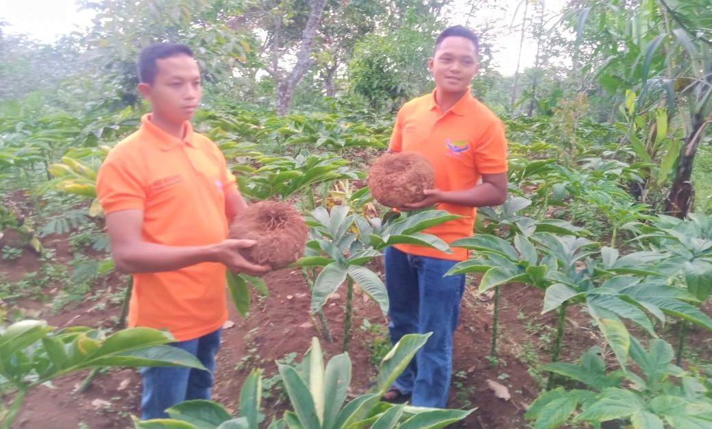 MENGUNTUNGKAN: Warsito dan Ismanto, petani anggota komunitas petani porang Ngargoyoso memperlihatkan porang yang sudah ditanam. (ISTIMEWA/LINGKAR.CO)