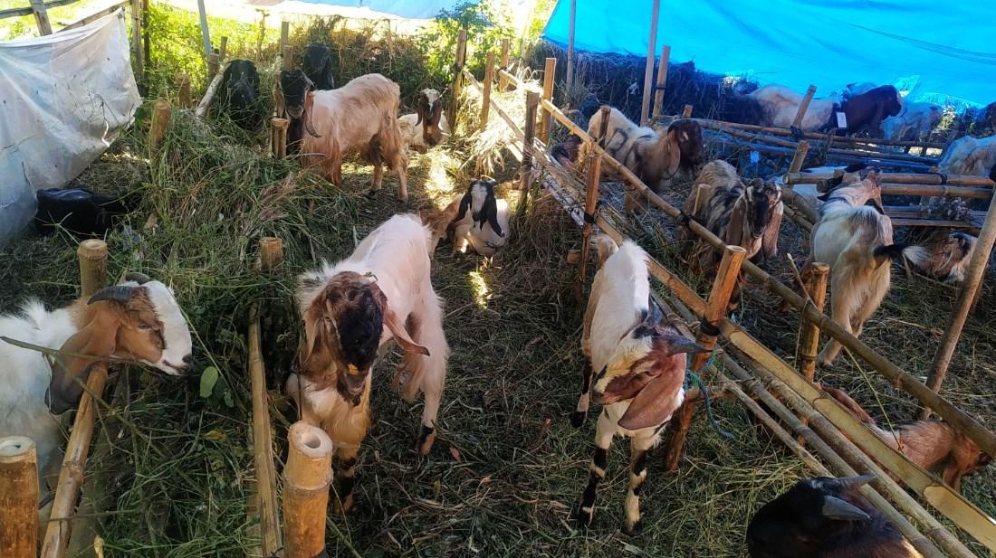 Hewan ternak kurban berupa kambing. Pemkot Semarang terbitkan aturan penyembelihan hewan kurban tahun ini. FOTO: Dinda Rahmasari Tunggal Sukma/Lingkar.co