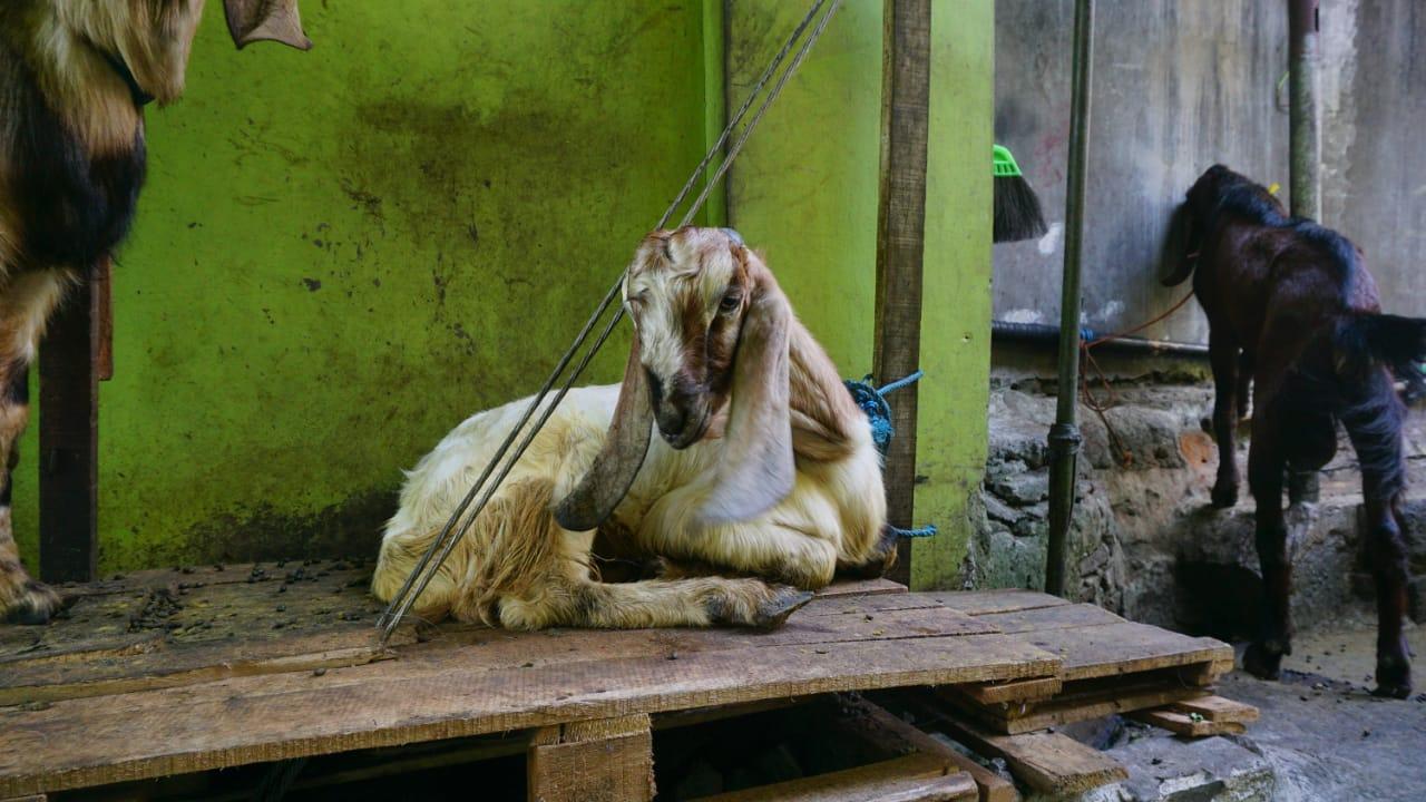 Hewan ternak kurban berupa kambing. Pedagang hewan kurban keluhkan sepi pembeli jelang Iduladha 1442 H. FOTO: Dinda Rahmasari Tunggal Sukma/Lingkar.co