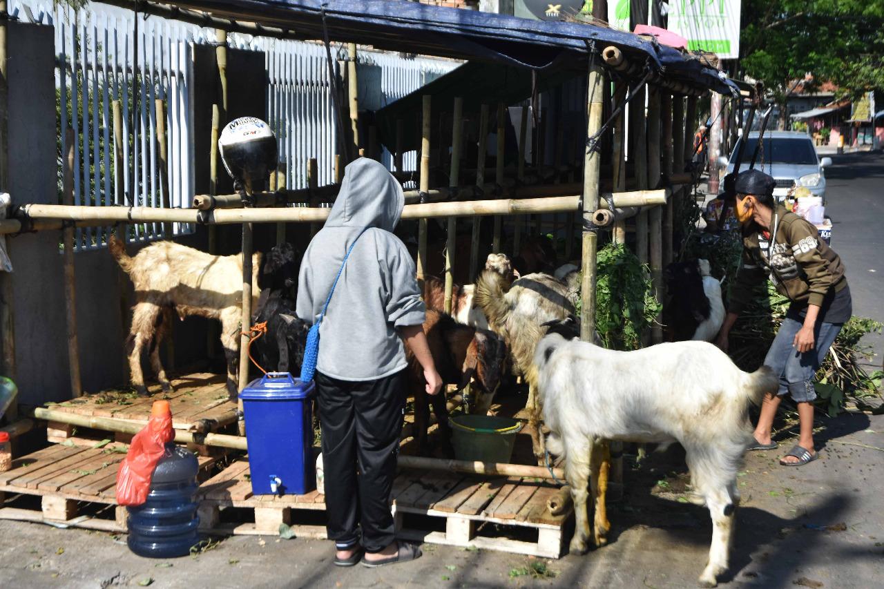 Hewan kurban berupa kambing. Disnakkeswan Jateng, imbau beli hewan kurban yang sudah memiliki Surat Keterangan Kesehatan Hewan (SKKH). FOTO: Dinda Rahmasari Tunggal Sukma/Lingkar.co