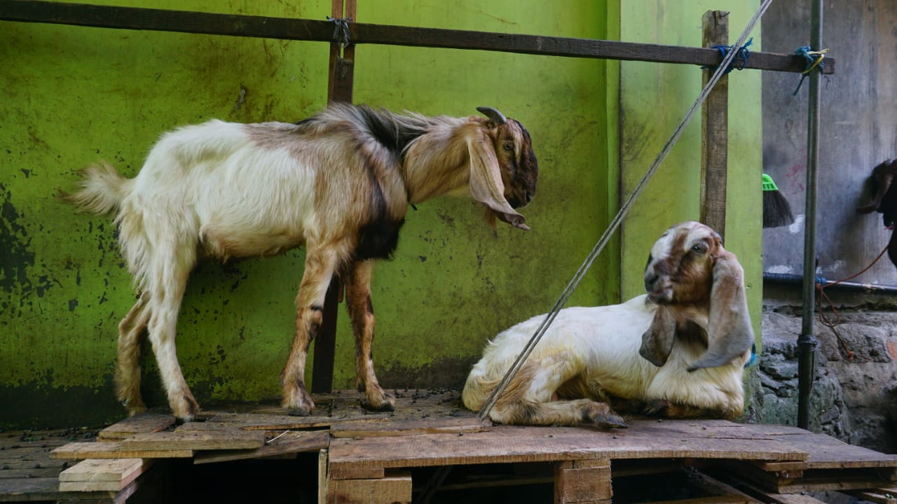 Kepala Dinas Peternakan dan Kesehatan Provinsi Jawa Tengah mengatakan jika Lahan di Jateng masih mampu untuk peternakan, hanya saja minat masyarakat berternak masih kurang. DINDA RAHMASARI TUNGGAL SUKMA/LINGKAR.CO