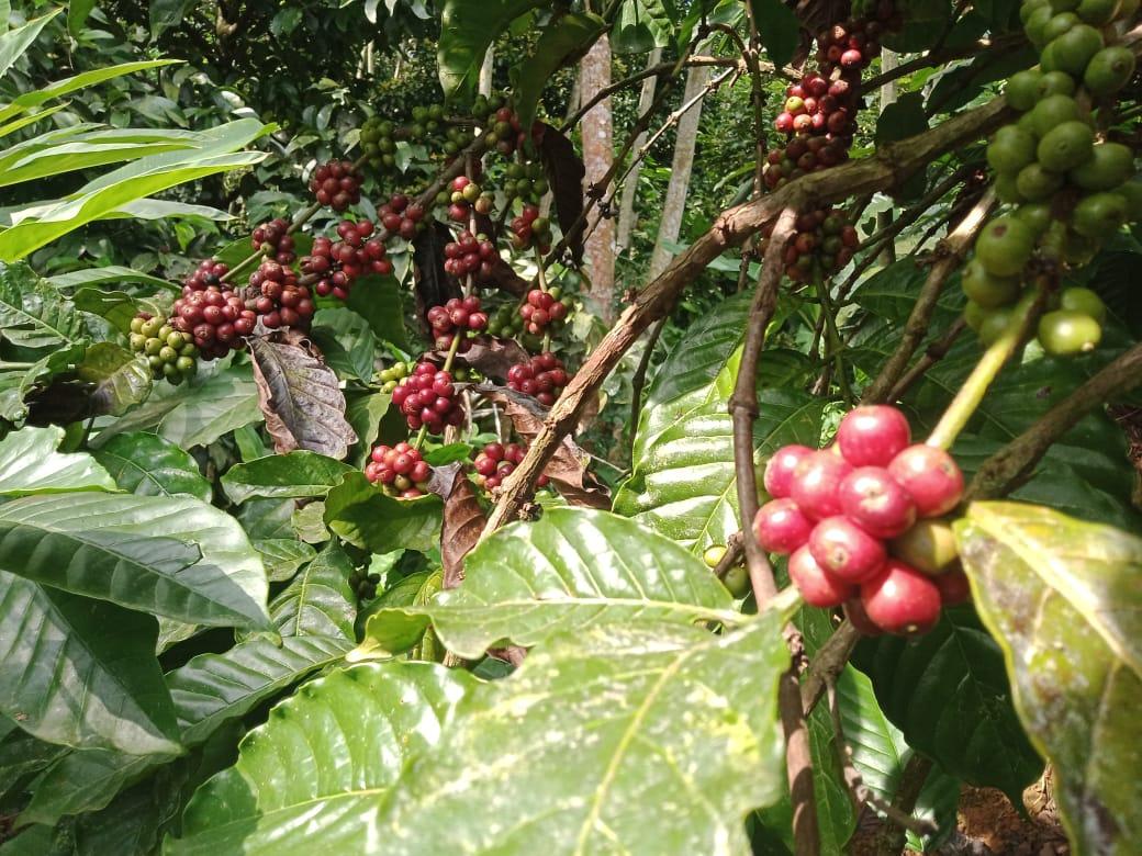 BERBUAH: Pohon kopi yang tumbuh subur hingga berbuah di kawasan Kabupaten Pati. (ISTIMEWA/LINGKAR.CO)