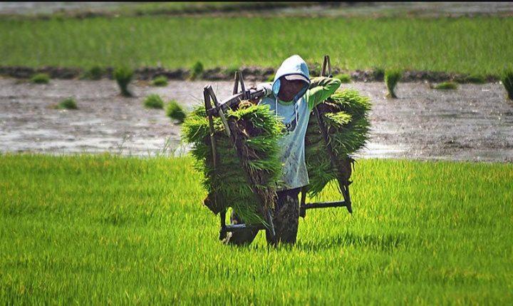 Nilai Tukar Petani (NTP) Jateng pada Juli 2021 sebesar 99,13, atau turun -0,34 persen. FOTO: Antara/Lingkar.co